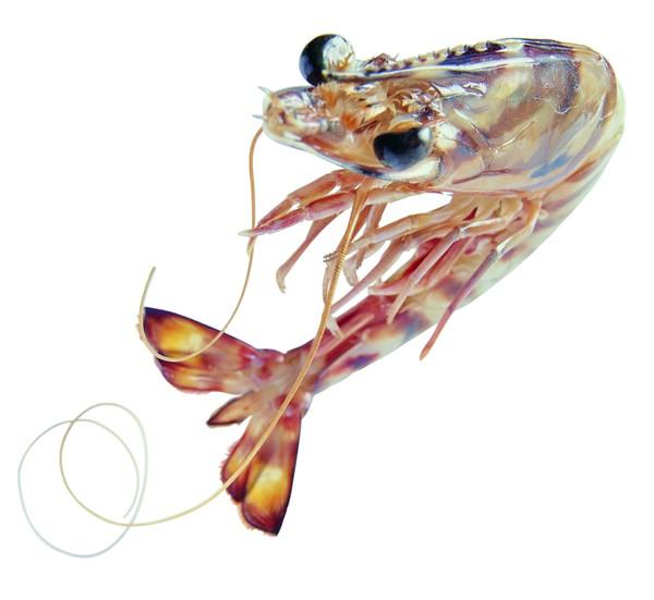 食材海鲜图片 饮食图 对虾 河虾 虾尾 饮食