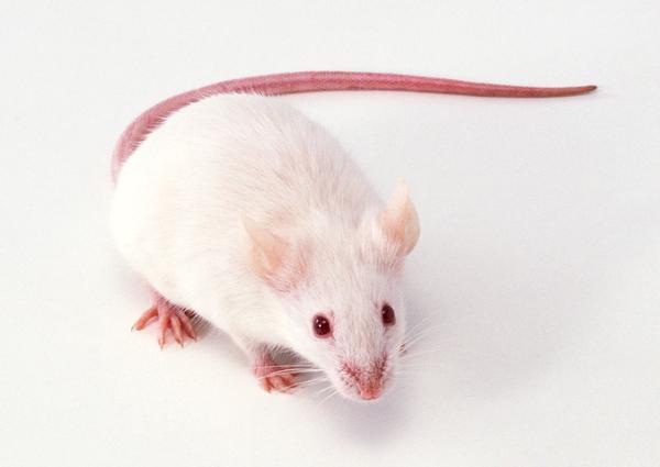 兔鼠图片-动物图 白鼠 老鼠 白色,动物,兔鼠