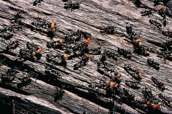 百类昆虫图片-动物图 蚂蚁 蚁群 树杆,动物,百类