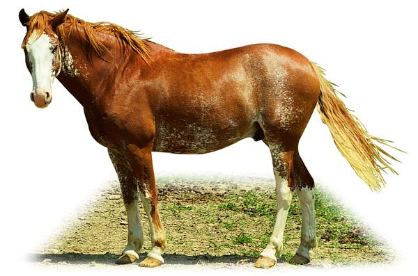 马图片 动物图 马匹 尾巴 马头,动物,马