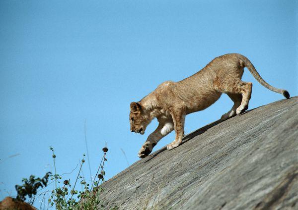 打架视频图片下载 狮子豹子老虎打架谁厉害 动物世界狮子藏獒高清图片