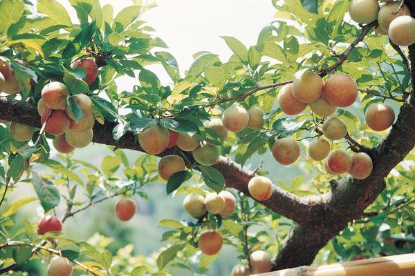 果园风光图片 植物图 收获 秋季 满枝,植物,果园风光