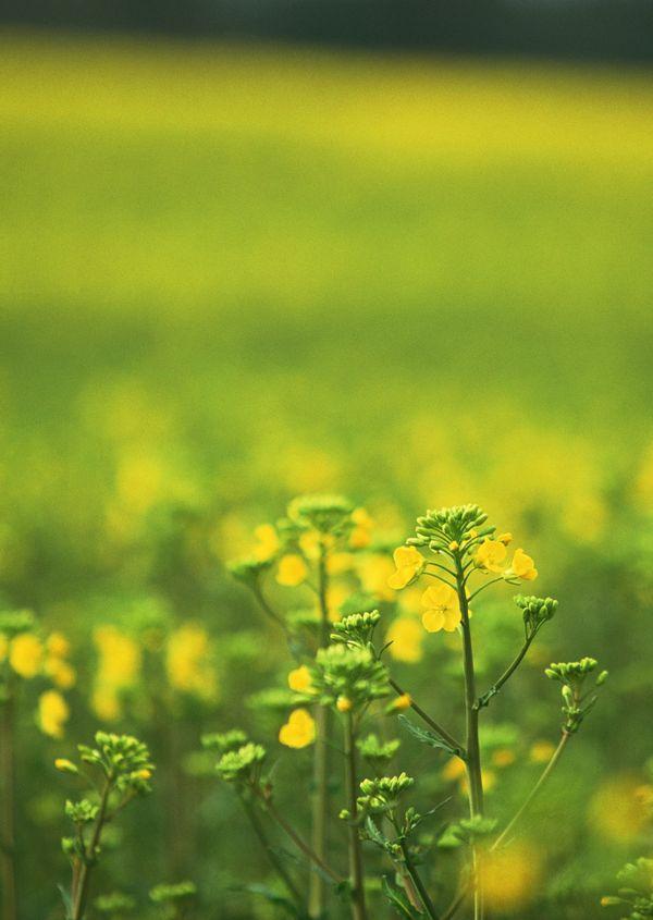 油菜花特写照片_油菜花特写摄影图__花草_生物世界_摄影图库