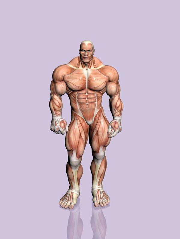 肌肉人体模型图片 综合图 综合