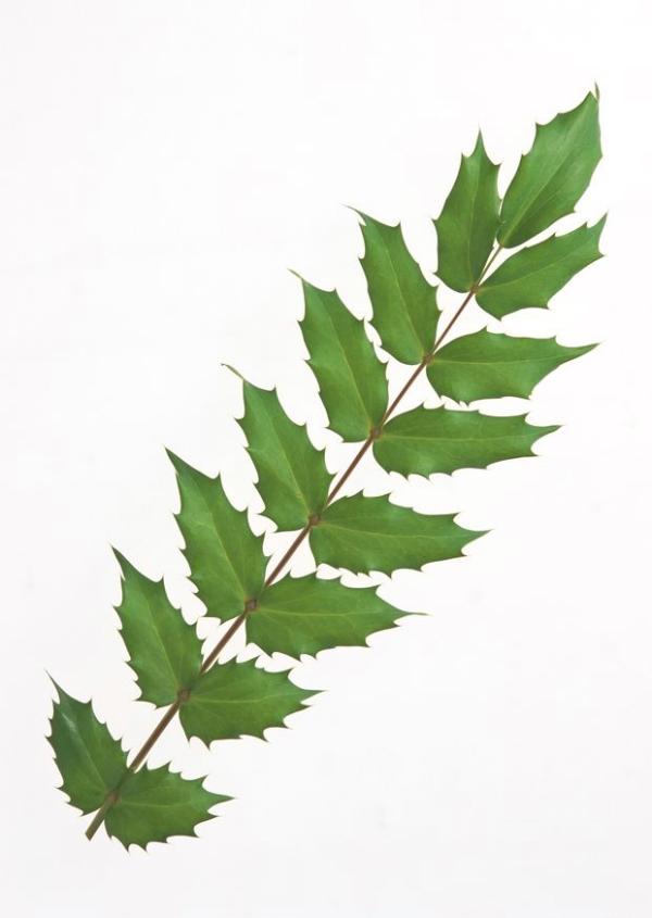 叶子 种类 叶形 叶子和绿叶-植物-植物图片