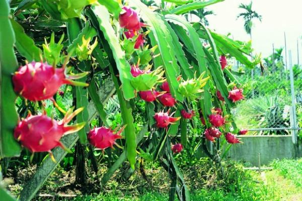 各种水果的药理功能 - fuge_2012 - 梦想点亮生活