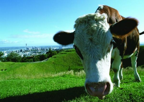 环保风情图片-自然风景图 牛吃草 草坡,自然风景