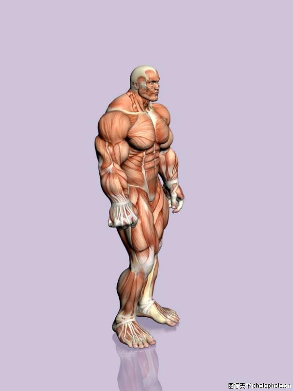 肌肉人体模型图,医疗图片图片